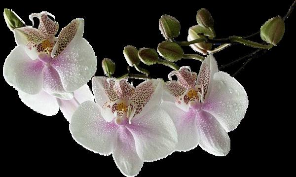 language orchidee centerblog. Black Bedroom Furniture Sets. Home Design Ideas